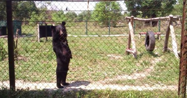 bear-walking-like-a-human-on-hind-legs.jpg (58.2 Kb)