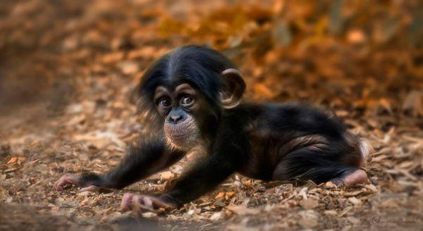cute-baby-animals-baby-chimpanzee__605.jpg (32.68 Kb)