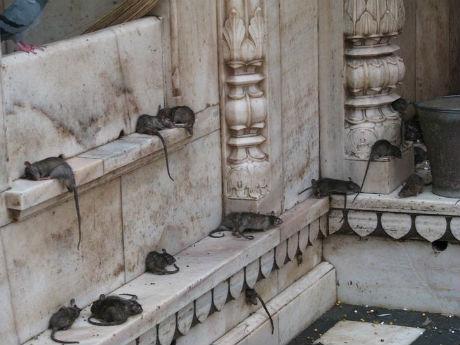 karni-mata-temple-3.jpg (37.7 Kb)